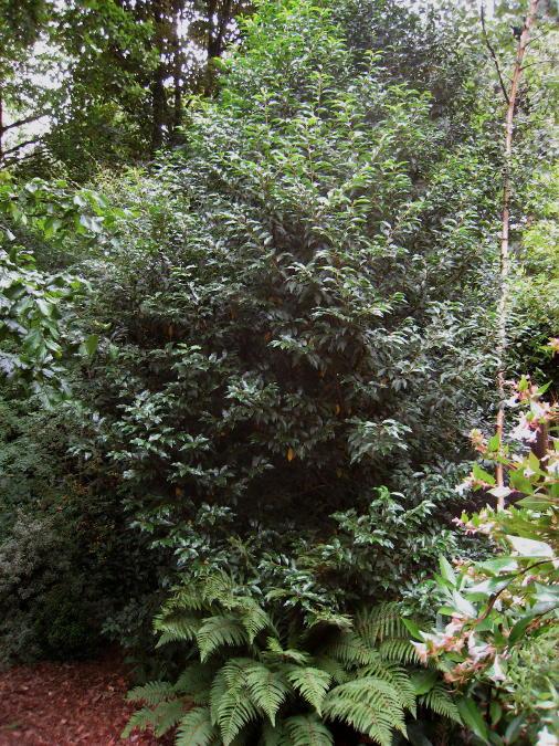 faut il tailler ma haie de laurier de portugal myrtifolia. Black Bedroom Furniture Sets. Home Design Ideas